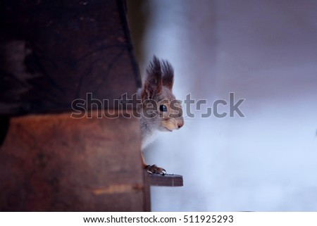 Portrait of a squirrel in the winter forest