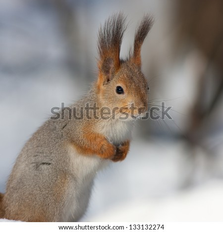 portrait of a squirrel in winter closeup