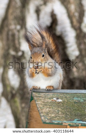 Portrait of a squirrel with nut closeup - stock photo
