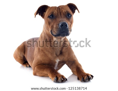 portrait of a staffordshire bull terrier in front of white background - stock photo