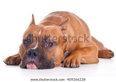portrait of a Staffordshire terrier