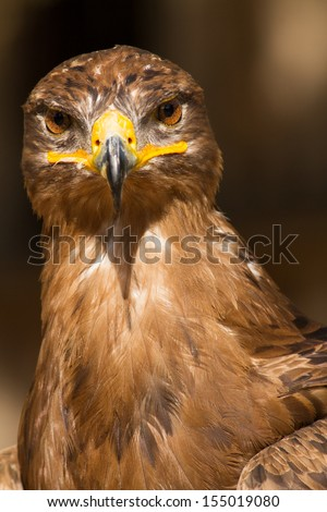 Portrait of a steppe eagle (Close-up of Aquila nipalensis) - stock photo