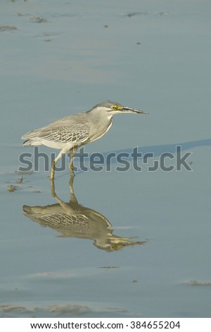 Portrait of a Striated Heron - stock photo