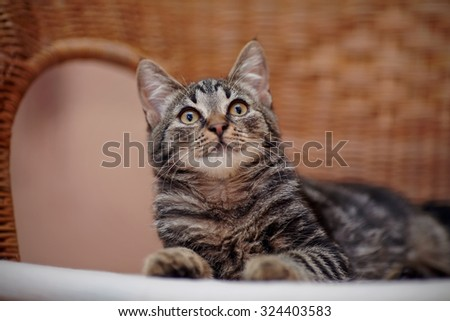 Portrait of a striped domestic kitten with yellow eyes on a wicker chair