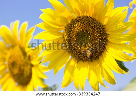 portrait of a sunflower in the field.