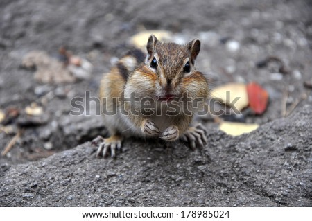 Portrait of a surprised chipmunk sitting on a rock eating. - stock photo