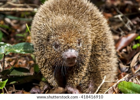 Portrait of a thin-spined porcupine.  - stock photo