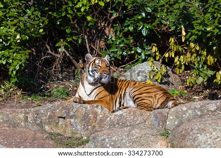 Portrait of a Tiger - stock photo