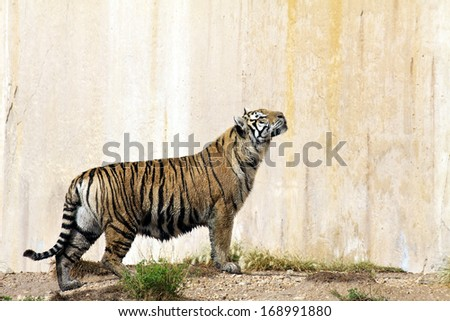 Portrait of a tiger alert near a wall - stock photo