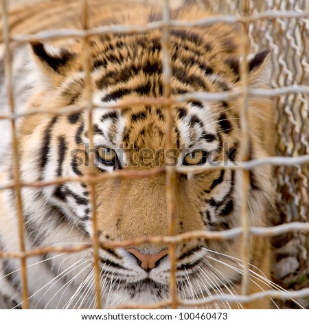 Portrait of a tiger behind the bars close up