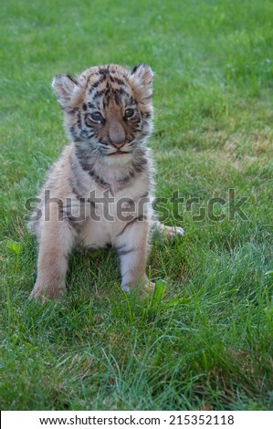 Portrait of a Tiger cub - stock photo