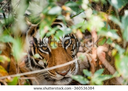 Portrait of a tiger in bushes. The female of a tiger looks out from under bushes and looks directly. Bengal tiger in natural habitat. The Bengal (Indian) tiger Panthera tigris tigris. India - stock photo
