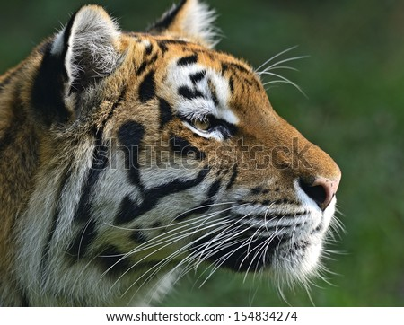 Portrait of a tiger in the summer