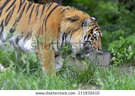 Portrait of a Tiger in the wild habitat