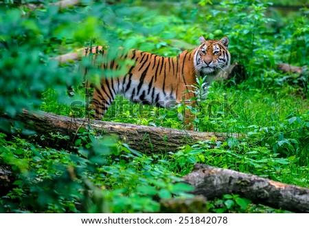 Portrait of a Tiger in the wild habitat - stock photo