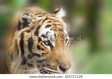Portrait of a tiger  (Shallow depth of field)