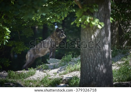Portrait of a timberwolf in summer