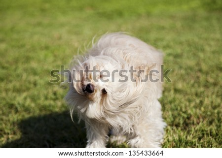 Portrait of a Toy Poodle dog sitting in an urban park, shaking its head.