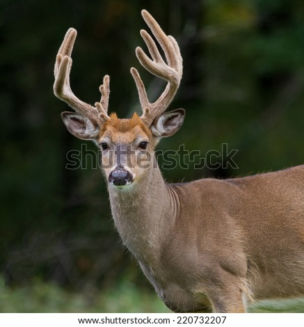 Portrait of a trophy whitetail deer buck.