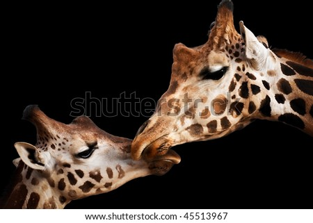 Portrait of a two giraffes touching heads isolated on black - stock photo