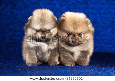 Portrait of a two Pomeranian puppies age of 1,5 month over blue background - stock photo
