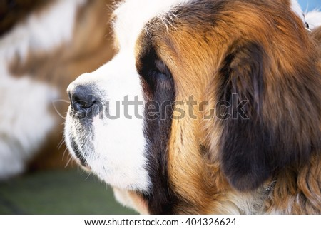 Portrait of a typical St. Bernard