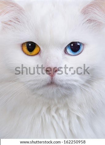 Portrait of a varicoloured eyes white cat - stock photo