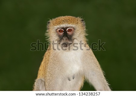 Portrait of a vervet monkey (Cercopithecus aethiops), South Africa