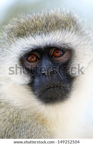 Portrait of a vervet monkey (Chlorocebus pygerythrus)