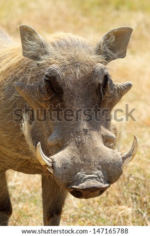 Portrait of a warthog (Phacochoerus africanus), frontal view - stock photo