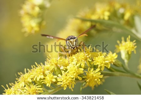 portrait of a wasp on yellow flowers - stock photo