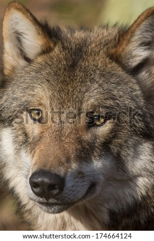 portrait of a watchful looking timber wolf in winter or autumn forest   - stock photo