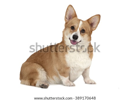 Portrait of a Welsh corgi Pembroke dog in studio in front of a white background - stock photo