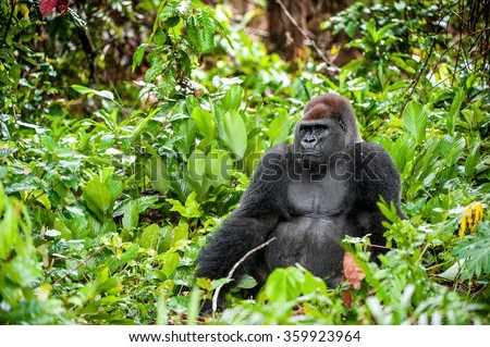 Portrait of a western lowland gorilla (Gorilla gorilla gorilla) close up at a short distance. Silverback - adult male of a gorilla in a native habitat. Jungle of the Central African Republic.