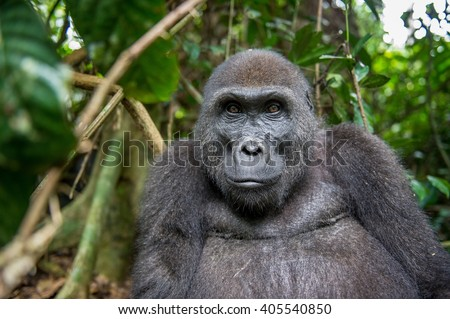 Portrait of a western lowland gorilla (Gorilla gorilla gorilla) close up at a short distance. adult female of a gorilla in a natural habitat. Jungle of the Central African Republic - stock photo
