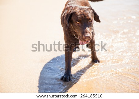 Portrait of a wet brown Labrador walking along the beach and enjoying the water - stock photo