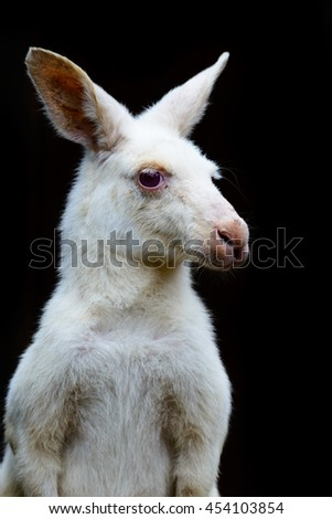 portrait of a white albino wallaby kangaroo( Macropus rufogriseus rufogriseus ) in black background.