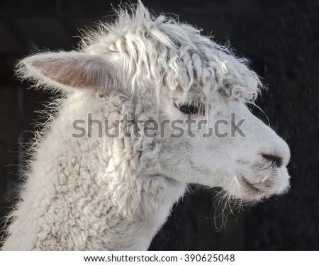 Portrait of a white Alpaca, Vicugna pacos, a domesticated animal from the Andes. Hair of the alpaca is used widely in high quality knitware.  The furry coat is well adapted to the winter in England. - stock photo