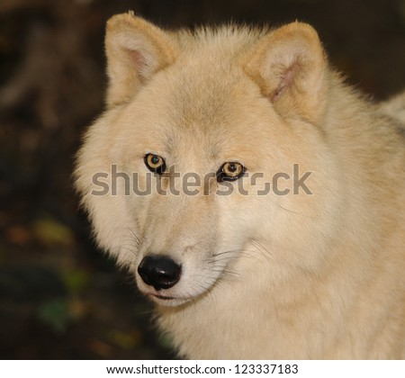 portrait of a white arctic wolf