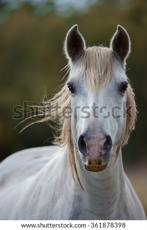 Portrait of a white camargue horse