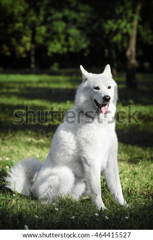 Portrait of a white dog. Dog sitting on grass and looking.