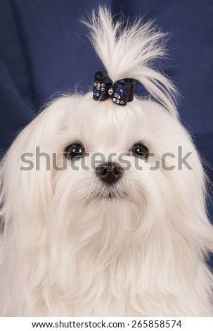 Portrait of a white dog of breed the Maltese close up on which eyes and a nose and structure of wool on a blue background are visible. - stock photo