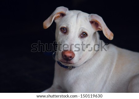 Portrait of a white dog with a pink nose - India - stock photo