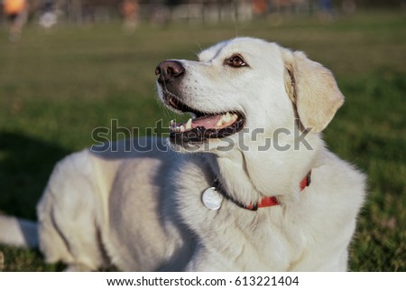 Portrait of a white female mixed Labrador sitting on the grass at an urban park on a sunny afternoon.