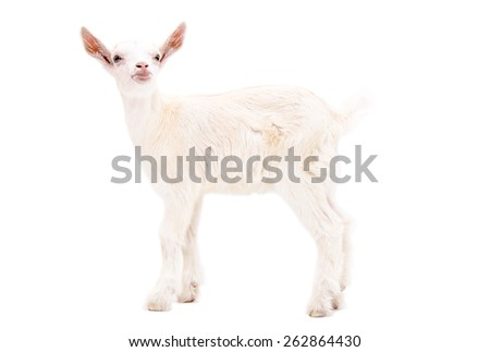 Portrait of a white goat standing in full length isolated on white background - stock photo