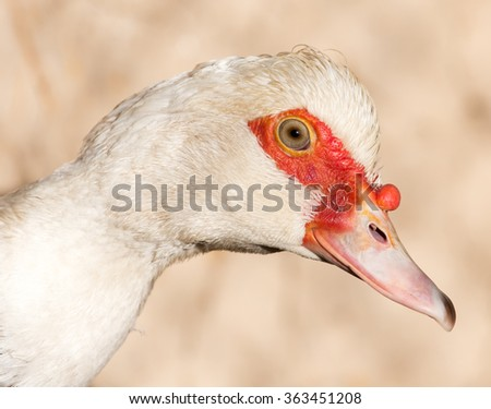 Portrait of a white goose on a farm