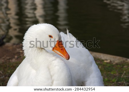 portrait of a white goose with blue eyes