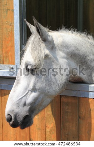 Portrait of a white horse in stable