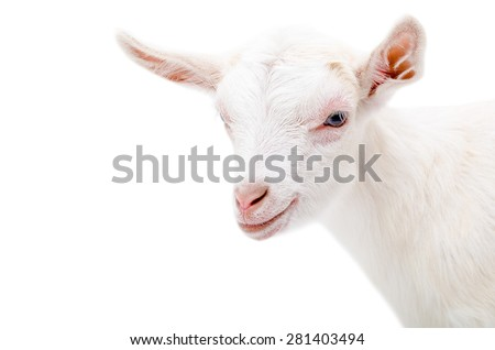 Portrait of a white little goat isolated on white background - stock photo