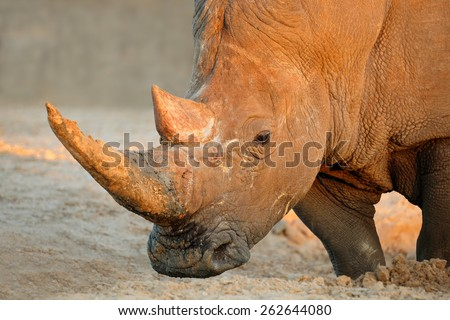 Portrait of a white rhinoceros (Ceratotherium simum), South Africa - stock photo